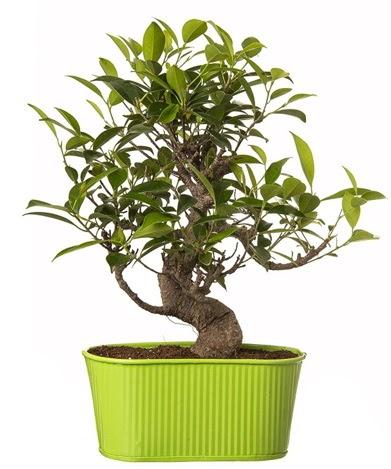 Ficus S gövdeli muhteşem bonsai  Yozgat çiçek siparişi sitesi
