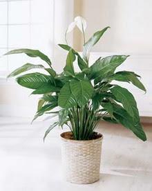 Yozgat online çiçek gönderme sipariş  spatilyum ithal büyük boy