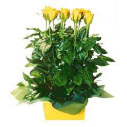 11 adet sari gül aranjmani  Yozgat online çiçekçi , çiçek siparişi