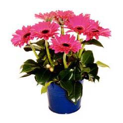 vazo içerisinde gerbera çiçekleri   Yozgat online çiçek gönderme sipariş