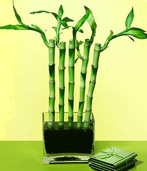 Yozgat anneler günü çiçek yolla  Good Harmony Lucky Bamboo camda