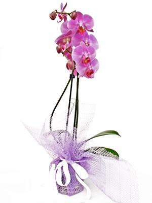 Yozgat anneler günü çiçek yolla  Kaliteli ithal saksida orkide