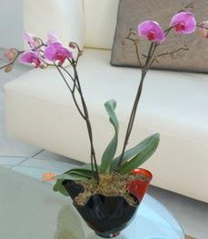 Yozgat çiçekçi mağazası  tek dal ikili orkide saksi çiçegi