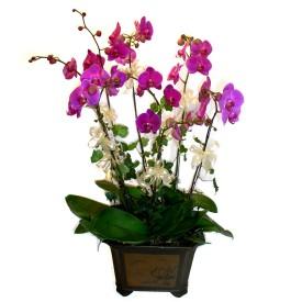 Yozgat cicek , cicekci  4 adet orkide çiçegi