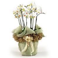 Yozgat çiçek siparişi sitesi  3 dal orkide , saksi çiçegi , 3 kök orkide