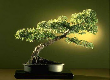 ithal bonsai saksi çiçegi  Yozgat çiçekçi mağazası
