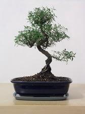 ithal bonsai saksi çiçegi  Yozgat çiçek siparişi vermek