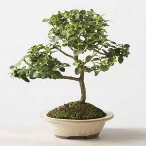 ithal bonsai saksi çiçegi  Yozgat çiçek online çiçek siparişi