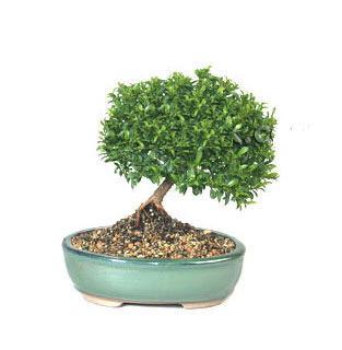 ithal bonsai saksi çiçegi  Yozgat cicekciler , cicek siparisi