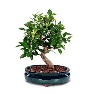 ithal bonsai saksi çiçegi  Yozgat çiçek siparişi sitesi