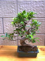 ithal bonsai saksi çiçegi  Yozgat hediye sevgilime hediye çiçek