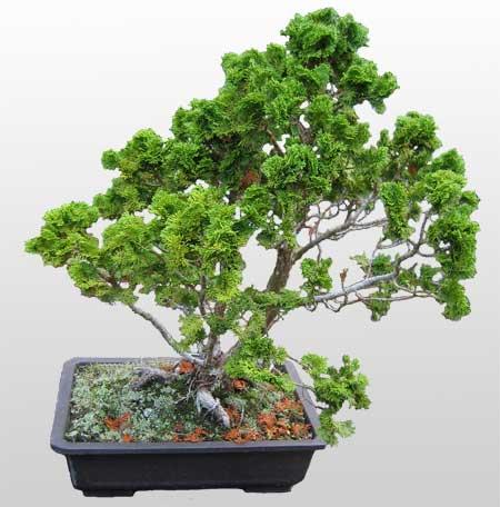 ithal bonsai saksi çiçegi  Yozgat İnternetten çiçek siparişi