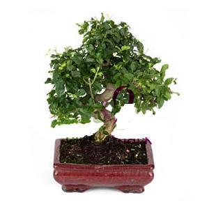 ithal bonsai saksi çiçegi  Yozgat anneler günü çiçek yolla