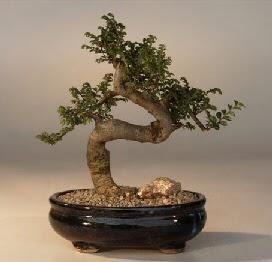 ithal bonsai saksi çiçegi  Yozgat 14 şubat sevgililer günü çiçek