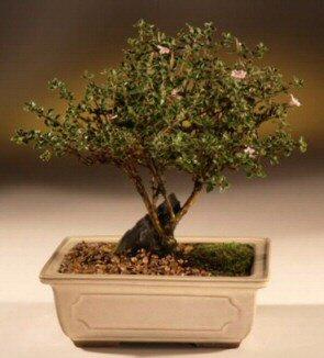 ithal bonsai saksi çiçegi  Yozgat çiçek mağazası , çiçekçi adresleri