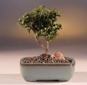 Yozgat çiçek yolla  ithal bonsai saksi çiçegi  Yozgat internetten çiçek satışı