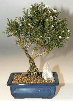 Yozgat çiçek , çiçekçi , çiçekçilik  ithal bonsai saksi çiçegi  Yozgat online çiçek gönderme sipariş