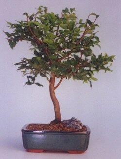 Yozgat ucuz çiçek gönder  ithal bonsai saksi çiçegi  Yozgat anneler günü çiçek yolla