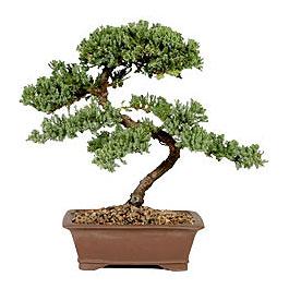 ithal bonsai saksi çiçegi  Yozgat çiçek gönderme sitemiz güvenlidir