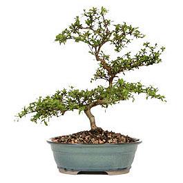 Yozgat İnternetten çiçek siparişi  ithal bonsai saksi çiçegi  Yozgat çiçek gönderme sitemiz güvenlidir