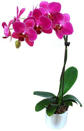 Yozgat çiçekçi mağazası  saksi orkide çiçegi