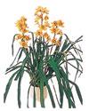 Yozgat çiçekçiler  Orchiede ithal büyük boy saksi