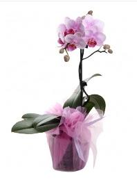 1 dal pembe orkide saksı çiçeği  Yozgat kaliteli taze ve ucuz çiçekler