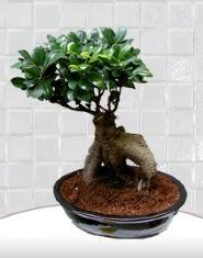 saksı çiçeği japon ağacı bonsai  Yozgat kaliteli taze ve ucuz çiçekler