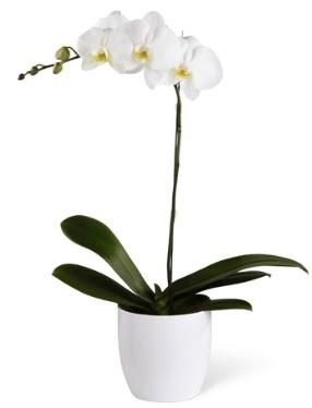 1 dallı beyaz orkide  Yozgat 14 şubat sevgililer günü çiçek