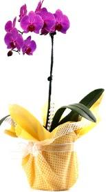 Yozgat çiçek siparişi sitesi  Tek dal mor orkide saksı çiçeği
