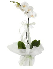1 dal beyaz orkide çiçeği  Yozgat çiçek siparişi vermek