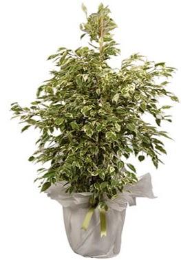 Orta boy alaca benjamin bitkisi  Yozgat internetten çiçek satışı