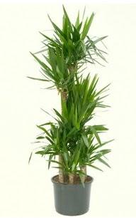 7 li yucca saksı bitkisi  Yozgat çiçek servisi , çiçekçi adresleri