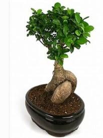 Bonsai saksı bitkisi japon ağacı  Yozgat çiçek siparişi sitesi