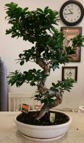 100 cm yüksekliğinde dev bonsai japon ağacı  Yozgat İnternetten çiçek siparişi