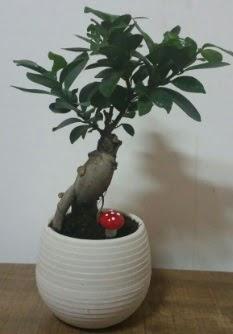 Bonsai japon ağacı saksı çiçeği  Yozgat çiçek gönderme sitemiz güvenlidir