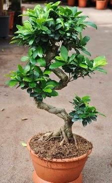 Orta boy bonsai saksı bitkisi  Yozgat internetten çiçek siparişi