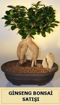 İthal Ginseng bonsai satışı japon ağacı  Yozgat çiçek siparişi sitesi