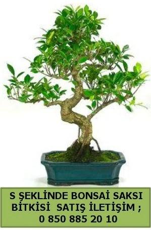 İthal S şeklinde dal eğriliği bonsai satışı  Yozgat çiçek gönderme