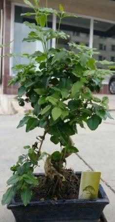 Bonsai japon ağacı saksı bitkisi  Yozgat çiçek siparişi vermek