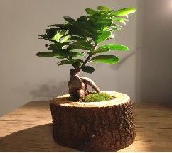 Doğal kütükte Bonsai japon ağacı satışı  Yozgat internetten çiçek satışı