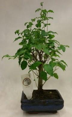 Minyatür bonsai japon ağacı satışı  Yozgat çiçekçi telefonları