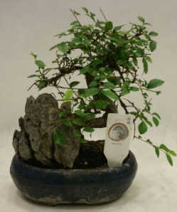 İthal 1.ci kalite bonsai japon ağacı  Yozgat çiçek satışı