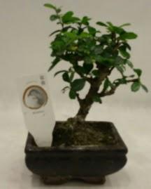 Küçük minyatür bonsai japon ağacı  Yozgat çiçek gönderme