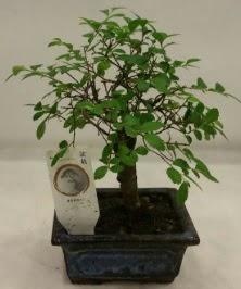 Minyatür ithal japon ağacı bonsai bitkisi  Yozgat çiçek satışı