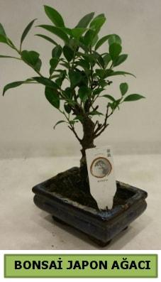 Bonsai japon ağacı saksı bitkisi  Yozgat çiçek servisi , çiçekçi adresleri