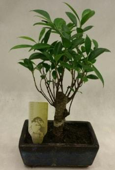 Japon ağacı bonsai bitkisi satışı  Yozgat çiçekçi telefonları