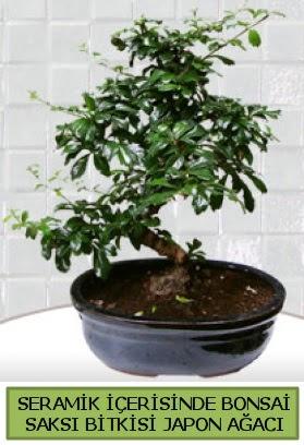Seramik vazoda bonsai japon ağacı bitkisi  Yozgat çiçek siparişi sitesi