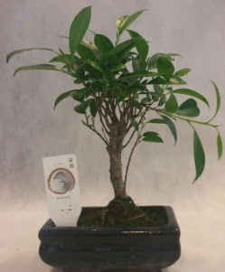 Bonsai japon ağacı bitkisi satışı  Yozgat çiçek gönderme sitemiz güvenlidir