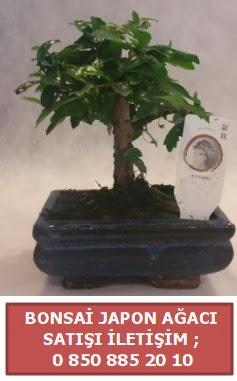 Japon ağacı minyaür bonsai satışı  Yozgat çiçek satışı